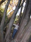 деревья-великаны