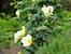 Белый шиповник, дикий шиповник краше садовых роз  ...