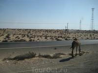 худенький верблюд
