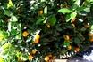 а во дворе дома растут мандаринки!