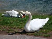 А эти лебеди встретили нас в Лугано