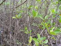 Вот это и есть мангры