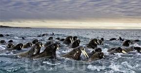 Стая моржей у Баффиновой Земли Автор: Пол Никлен (Paul Nicklen)