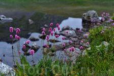 Цветы на горном озере