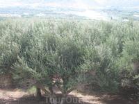 дикие оливковые деревья