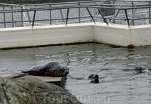 Довольно большой вольер выстроен в Lofoten Aquarium для тюленей. В нем живут несколько больших особей и двое малышей, появившихся на свет весной этого ...