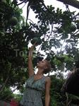 Нам показывали, как растут практически все заморские фрукты. На фото помело. Большой белый вкусный грейпфрут.