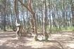 До сих пор ученые биологи спорят почему деревья растут таким удивительным образом . Существуют две версии : первая версия -природные условия , постоянный ...