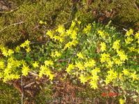 не знаю, как называются эти жёлтые ползучие цветочки...