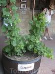 Шардоне, Шардонне (фр. Chardonnay) — классический сорт белого винограда и одноимённое сортовое вино.  Этот сорт щедро наделён маслянистым и лимонными ароматами ...