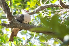 Розовый маврикийский голубь - один из самых малочисленных видов на земле. В 80-х годах прошлого века начались работы по восстановлению его популяции. В ...