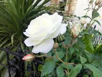 Ну а еще в Лондоне очень много роз, разноцветных с настоящим тонким ароматом.  Под конец прогулки вспомнился Элтон Джон и его слова памяти принцессы Дианы: Goodbye ...