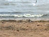 Чайка над Финским заливом.