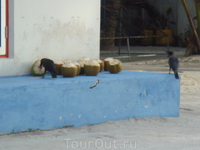 на экскурсии в мальдивскую рыбацкую деревню....  И вороны любят кокосы