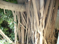 это корни кустарника