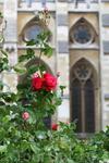 """Около аббатства цветут розы сорта """" Королева Елизавета"""""""