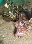 вот так красиво и дружелюбно выглядит одна из хищниц (крылатка) Красного моря