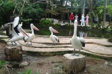 Бали/ пеликаны
