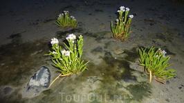 растительность Белого моря. в прилив эти цветы скрываются под водой!