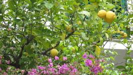 Лимоны одновременно цветут и зреют.Нон-стоп.