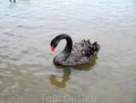 Черный лебедь, символ Перта