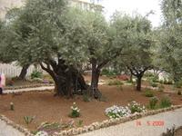 Гефсиманский сад- оливам 2000 лет.