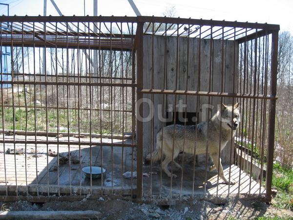 одинокий волк в местечке Миронежье, что на трассе СПб - Москва