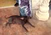 Мексиканская голая собака (Ксолоитцкуинтли) Высота в холке: стандартная 35-58 см, миниатюрная до 35 см Окрас: черный, антрацитовый, печеночный, шоколадный ...