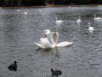 Красавцы-лебеди как будто позируют для фото.
