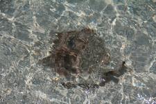 так же на берег выползают погреться в мелководье ракушечные обитатели, пляж Сирена