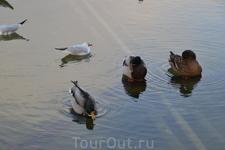 утки в фонтане