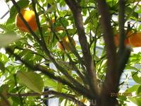 Мандариновое дерево на территории отеля