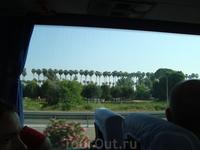 Единственные пальмы на Анталийском побережье, на которых растут кокосы