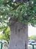 Памятник живой природы-дуб Петра Первого