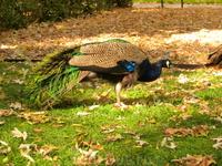 По садам мирно прогуливаются фазаны.