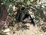 Спящий тасманский дьявол в Lone Pine Koala Sanctuary