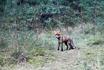 Были удивленны большим количеством непуганых рыжих лисичек, гуляющих по Куршской косе.