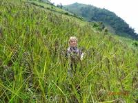 Кто еще видел рис, растущий на склонах гор?
