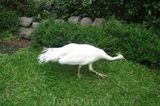 Бали/ белая пава