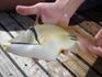Вот такая рыбка водится в Красном море (правда несъедобная)