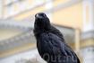 Черный ворон у Музея истории Кронштадта