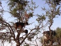 Местное чудо - козы пасутся на аргановых деревьях!