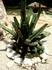 В Мексике растет 136 видов агавы, только один из них — голубая идет на приготовление текилы. Чтобы запасы ее не иссякали, плантации суккулентов постоянно ...