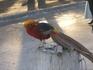 грустный золотой фазан - мало заработал...