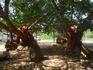 Дерево баньяна увешано колыбельками от благодарных молодых мамочек.