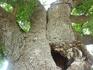 Говорят что дереву более 300 лет.Когда-то в него попала молния и оно раскололось, поэтому его стянули цепями.