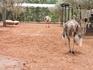 Это небольшой зоопарк в отеле Villate Limoune. Здесь страусов можно посмотреть поближе, хотя они и в загонах