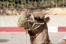 - А почему верблюд в наморднике? - Чтобы травку не жевал. - А я думала, чтобы он не плевался :)) - Верблюды редко плюются!