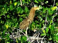 гид не вспомнила название этой птицы, а я не могу найти ее имя в интернете. в общем птица вытягивает шею, когда напугана и у нее желтые глаза очень