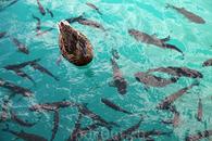 Рыбы в Плитвицких озерах много.